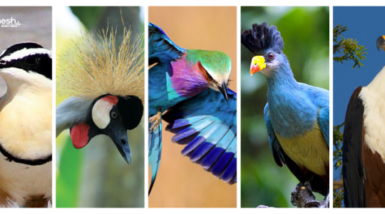 """birding and the best sites to see birds in Uganda"""